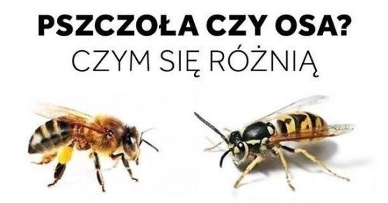 pszczola-vs-osa